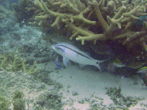 Photo: Parupeneus barberinus (Dash-and-dot Goatfish) being cleaned, Naigani Island, Fiji