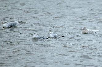 Photo: Gulls, Quidi Vidi, 4 Dec 2013