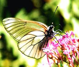 """Photo: Le papillon """"gazé"""" en contre-jour. Jadis très commun il est aujourd'hui en voie de disparition. Il ressemble à la piéride blanche du chou mais ses nervures des ailes sont très marquées (photo). Si vous en observez un, dîtes le moi. Merci."""