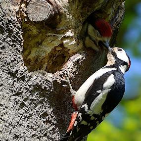 Feeding Time by Carla Maloco - Animals Birds ( bird, nest, wildlife, great spotted woodpecker )
