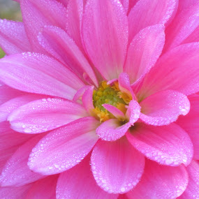 Pink Dahlia by Viive Selg - Flowers Single Flower (  )