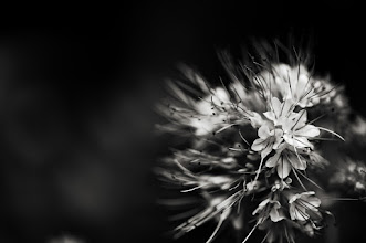 Photo: goodnight all  #bwphotography  #monochrome  #floralfriday  #flowerphotography
