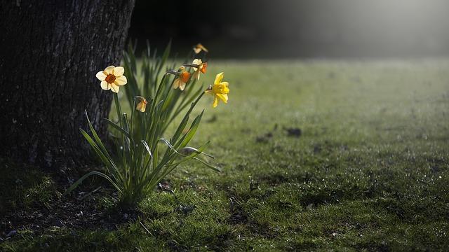 daffodils-455359_640.jpg