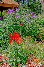 Photo: There are many great plants for the landscape including this lovely red Cardinal Flower (great for #rainscapes!) and the purple Ironweed. Ironweed is a butterfly magnate.