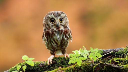 Beautiful little owl
