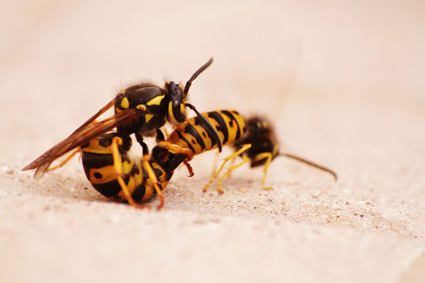 Wasps in love di crisspercheno