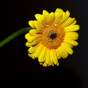 Poppin Yellow by Colleen Rohrbaugh - Nature Up Close Flowers - 2011-2013 ( nature, plants, landscape, flowers,  )