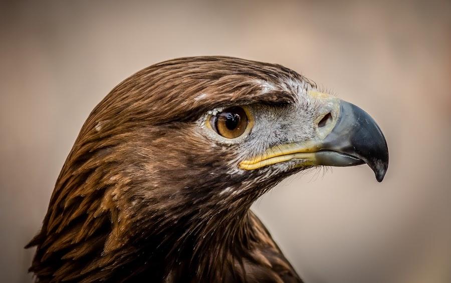 Respect by Mohammed Shamaa - Animals Birds ( bird, animals, eagle, zoo, dubai, uae, abudhabi, falcon, abu dhabi, portrait, animal )