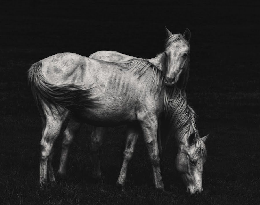 Wild Horses by Heather Waller-Rivet - Animals Other Mammals ( farm, wild, horses, black and white, rural, country )