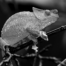 After the shower by Gérard CHATENET - Black & White Animals
