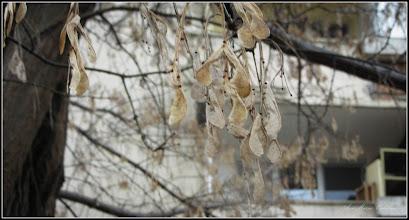 Photo: Artar - Paltin de munte (Acer pseudoplatanus) - de pe Calea Victoriei, B16 - 2017.02.05