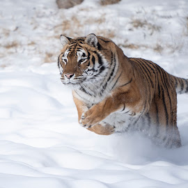 tiger running in snow by Jack Nevitt - Animals Lions, Tigers & Big Cats ( running, jumping, snow, winter, cold, tiger )