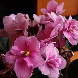 African Violets by Dee Haun - Flowers Flowers in the Wild ( flowers, pink, 190209r0207c2e1, african violets, group,  )