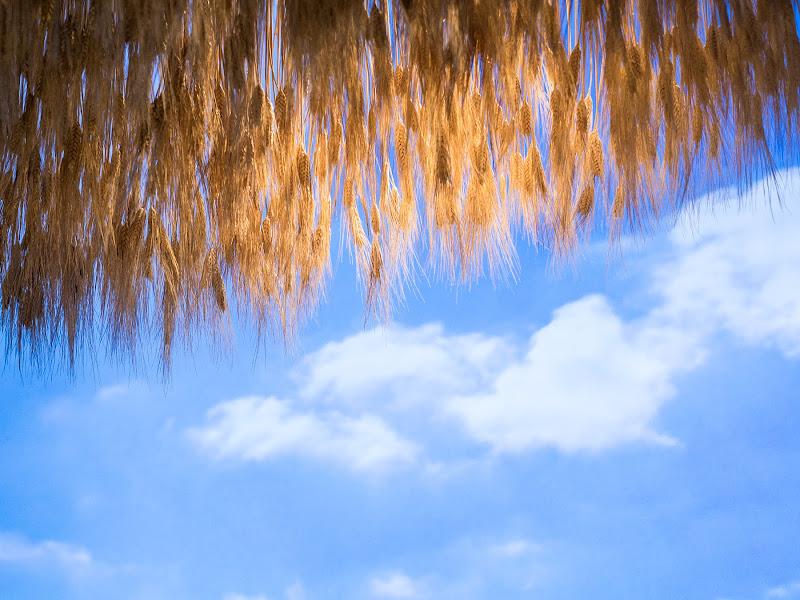 Sotto un cielo di spighe di anija