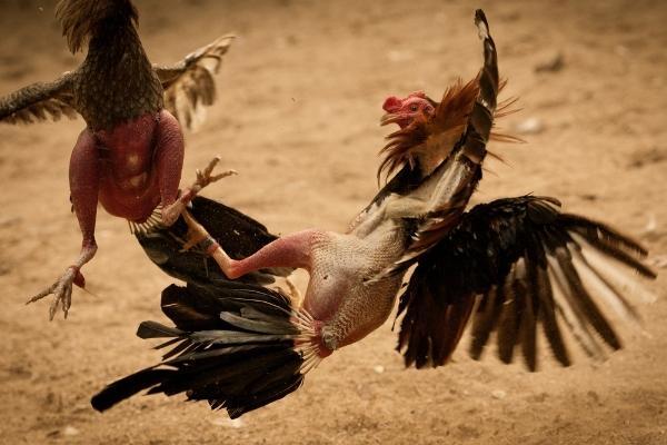 Biện pháp phòng bệnh ở gà chọi