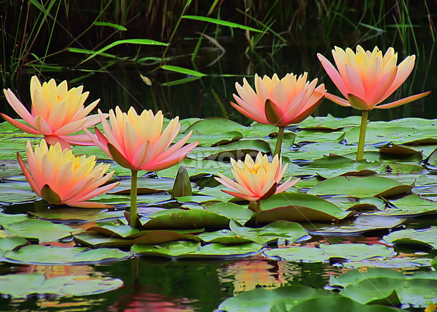 Glowing Waterlilies by Tina Dare - Flowers Flowers in the Wild ( water, waterlily, nature, peach, salmon, glowing, landscape, flower,  )