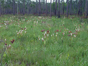 Photo: Sarracenia leucophylla at Splinter Hill Bog Preserve in Alabama.