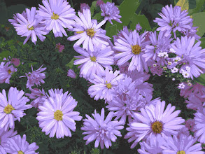 Photo: Asters
