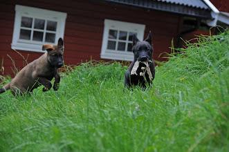 Photo: Vilma har besøk av Kahn, 10 uker gamle