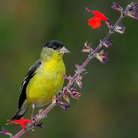 Finch 'n Flora by Andy Nguyen - Animals Birds ( bird, wild, song bird, wildlife, flower )