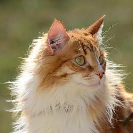 Akili by Greg Balla - Animals - Cats Portraits ( cat, outdoors, felines, portrait )