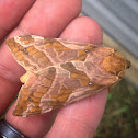 Four-spotted Ghost Moth