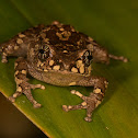 Cross-backed Frog