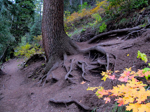 Photo: Trampled tree roots on the trail