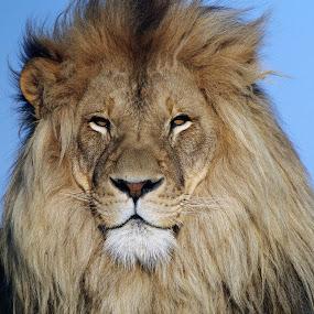 Lion by Gavin Falck - Animals Lions, Tigers & Big Cats ( big cat, lion, predator, gavin falck, mammal, animal )