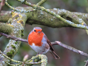Photo: Priorslee Lake Always cute: a Robin watches for passing food. (Ed Wilson)