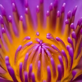 Lotus by Shashank Ramesh - Abstract Macro ( macro, lotus, purple, nature, pollens, yellow, flowers )