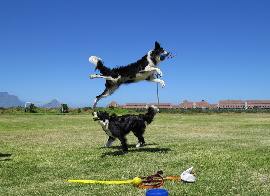 Flying dog! by Wendy Pearce - Animals - Dogs Playing