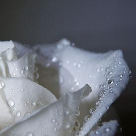 White Rose by Renee LaFlesh - Black & White Flowers & Plants (  )