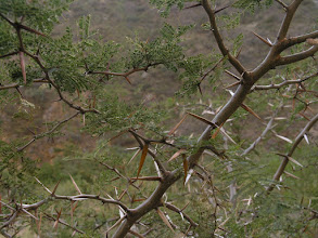 Photo: An acacia with some really nasty thorns.