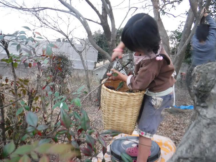 葉っぱを採集