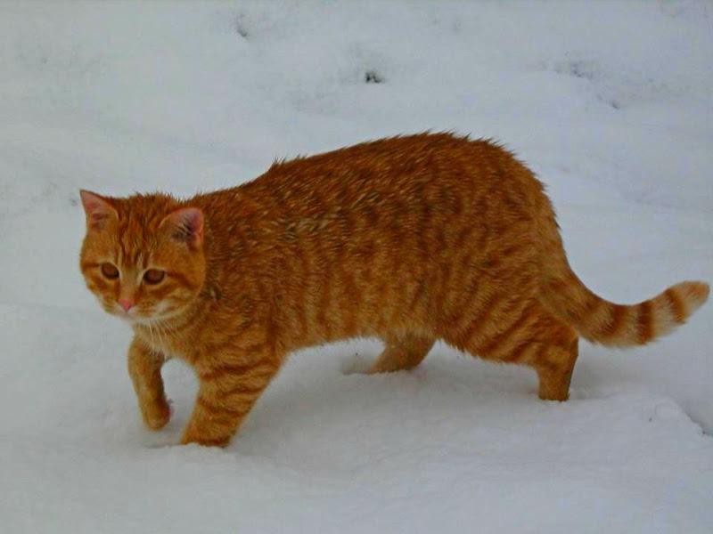 Gatto delle nevi di martapdn
