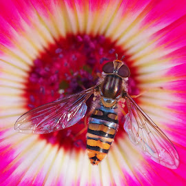 Hoverfly Body and Wings by Gillian James - Animals Insects & Spiders ( close up, macro, insect, hoverfly, flower )