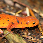 Eastern Newt Juvenile (Red Eft)