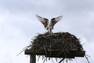 Photo: Golden - Osprey-Nest