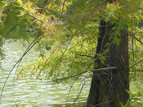 Photo: Hojas y gálbulos de ciprés de los pantanos