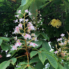Common Horsechestnut