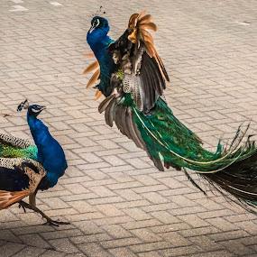 Back off! by Lynn Kirchhoff - Animals Birds ( bird, zoo, peafowl, wildlife, feathers, aggressive, peacock,  )
