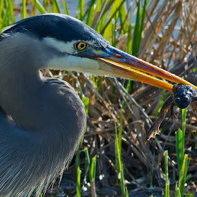 Heron Frog Rescue by Sparty Rodgers - Animals Birds ( great blue heron, 300mm af-s lens, western washington state, frog, d800, pacific northwest, nisqually wildlife refuge,  )