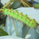 Larva of yellow emperor moth