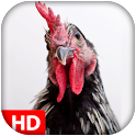 Different rooster sounds icon