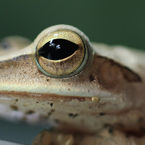 by Rizky karunia  Arief  - Animals Amphibians ( frog nature )