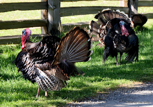 Photo: (Year 2) Day 329 -  Turkeys on the Way to Ruckle National Park