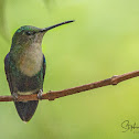 Green-crowned Woodnymph Hummingbird
