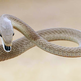 Black mamba by Sue Green - Animals Reptiles ( watching you, sheer poison, a deadly eye, slither, beautiful reptile, watching me watching you, eye 2 eye, the black mamba )