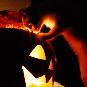 Peek-A-Booooooooooo by Barb Moore - Public Holidays Halloween ( pwc77:pumpkins, pumpkin, rascal, carving, jack-o-lantern, kitty, pumpkins, halloween, color, colors, landscape, portrait, object, filter forge, #GARYFONGPETS, #SHOWUSYOURPETS, carved )